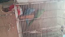 للبيع اجواز طيور المتو الدرة