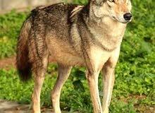 مطلوب ذئب بسعر مناسب البصره  كون اليف