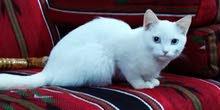 قطة مفقوده   ...   حي الامير محمد