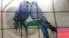 زوج عصافير استرالي الوان روعه