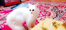 قطة شيراز