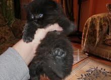 قطة شيرازى بنت ام هيمالايا و اب المانى