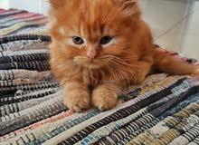Pure Persian female kitten