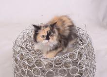 قطه كاليكو