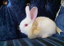 Angora small bunny