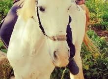 حصان ابيض عمره 8 سنوات