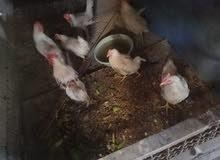 5 ديج 2 دجاج