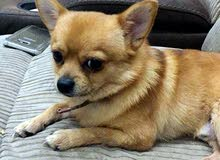 كلب جيواوا