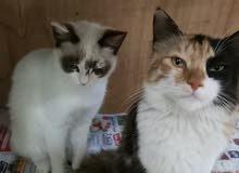 قطط مكس شيرازي وبلدي وهملايا وبلدي