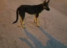 كلب جيرمن شيبرد ورك لاين