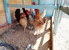 دجاج عربي