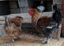 دجاج كيرلي وعربي