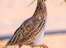 طيور السمان (الفري) للبيع عمر الانتاج سعر للحبه 500،،