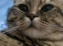 7 Months Old Cat For Sale/للبيع قطة عمر 7 شهور