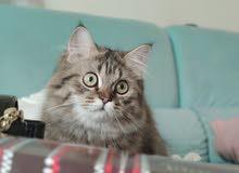 قط خليط بين تركي وشيرازي لطيف جدا