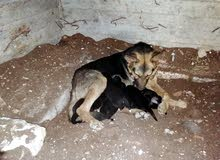 جراء جيرمان عضم عريض كلاب الشرطه الروسيه للبدل على دجاج 0789897664