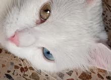 chat Turque blanche avec les yeux vert et bleu