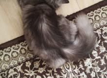 للبيع قطة شيرازي العمر 8اشهر ومعطايه تحصيل قبل أسبوعين انثى