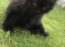 قطط بيكي فيس وشيرازي