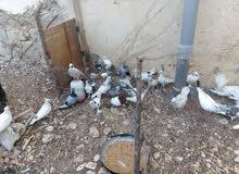 مطلوب ممول لمزرعه طيور