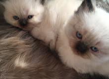 قطط هملايا بيور اصليات