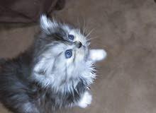 قطة شيرازي بيور شانشيلا العمر شهر عيون زرق
