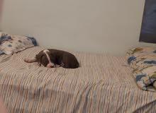 بيتبول جرو pitbull puppy
