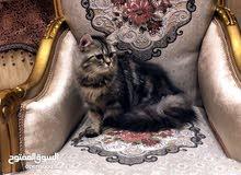 قطه شيرازيه انثى للبيع مع جواز سفر