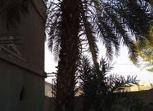 شجر بلح