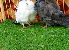 طيور زينه
