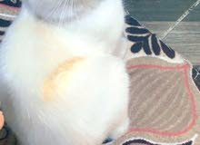 قط هملايا اورنج