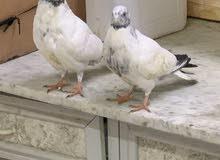 Decore Pigeons