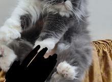 قطه انثى باندا رماديه بيرشن شعر كثيف