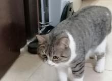 للبيع  قط ذكر سكبي