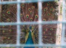 طاووس صحة جيدة عمر 3سنين ونص الزيل قصير شوي بسبب صغر القفص