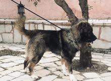 كلب قوقازي (كوكاجين) للبيع