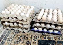 بيض تحضين عربي وفيومي7اطباق