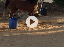 حصان تلاته ارباع  مايل الي العربي الاصيل