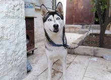 كلبه هاسكي انثا للبيع بسعر مغري جدا قابل للتفاوض