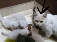 قطط شيرازى تركى للبيع عمرها شهر و نص