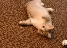 قطة تبني