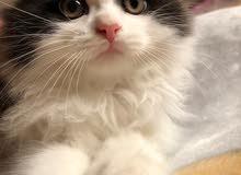اربع قطط شيرازي للبيع)