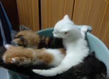 قطط مون فيس عمر 45 يوم للبيع