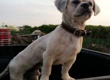 للبيع كلب شيتزو  عمر 10 شهور  الكلب لعوب