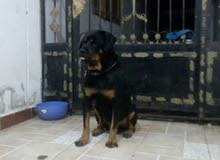 male Rottweiler for sale