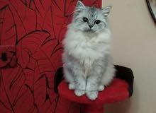 قطط شينشيلا فصيلة نادرة جدا (بيديغري)