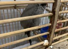 بلبل طور للبيع قلاب  تغريد فول اكثر من 12 تقسيم طير خشن طرنبول