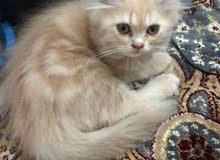 قطط شيرازى جميلة ولعوبة