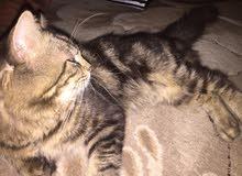 قطة شيرازي جميله جدا ماشاء الله