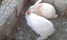 للبيع ارانب هولنديه ذكر و انثاء